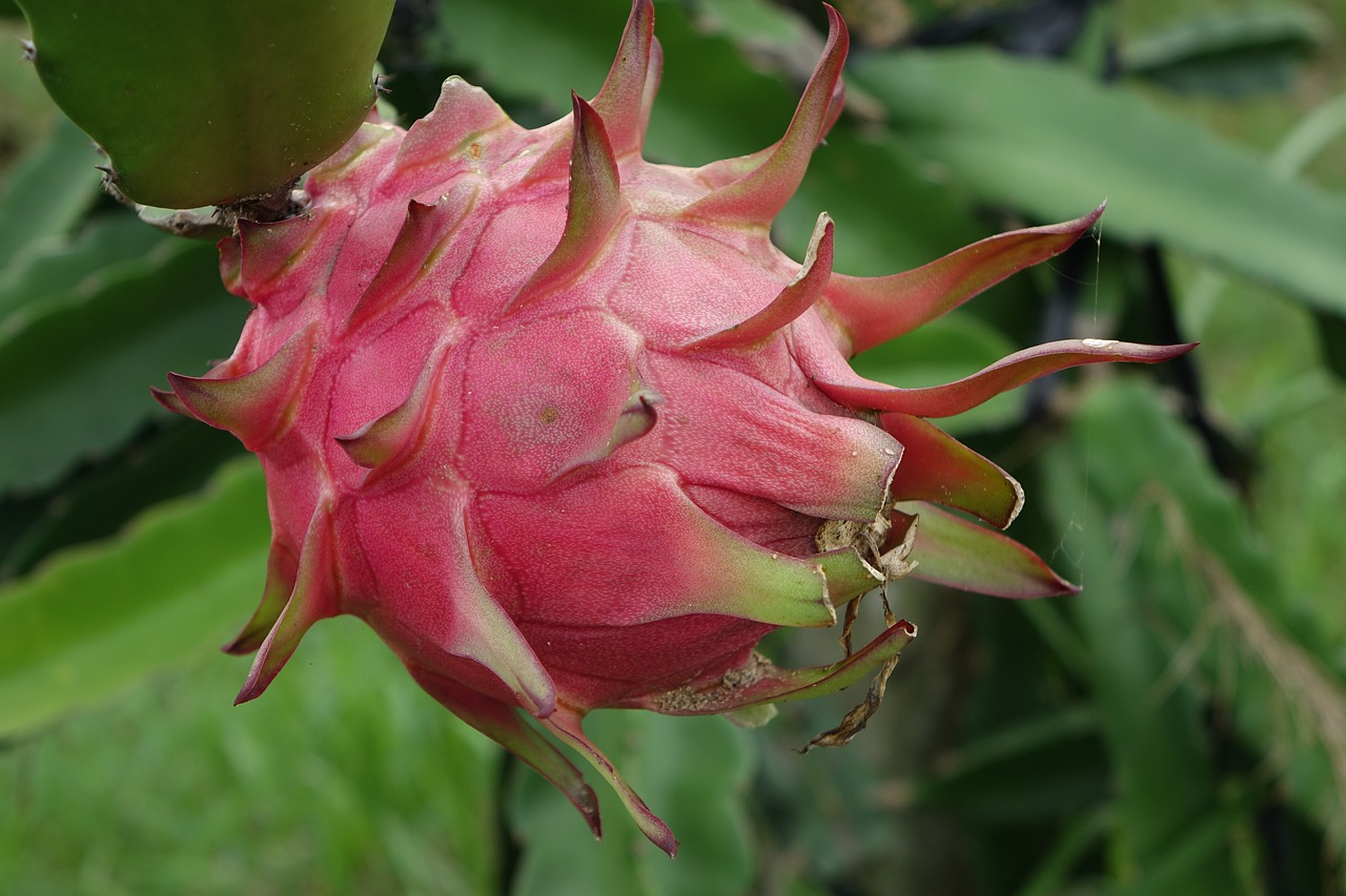 dragon-fruit-na.jpg
