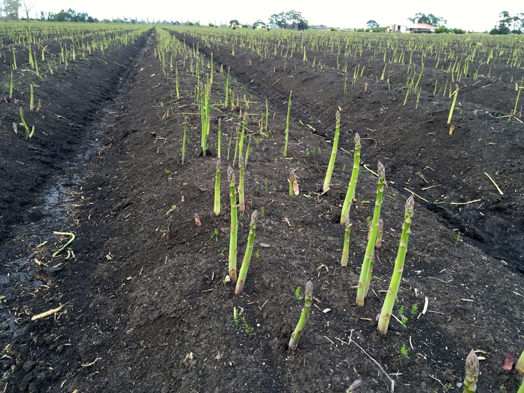 Mexican asparagus in demand